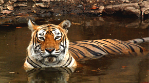 Machli Tigress-Lady of Lake